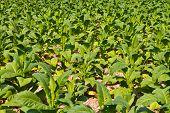 Tobacco plant in the farm