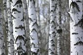 stock photo of birchwood  - Birch tree forest - JPG