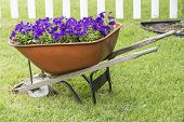 Purple petunias in Wheelbarrow