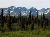 Sitka Spruce Forest - Alaska