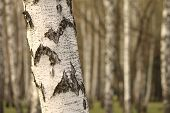 image of birchwood  - Birch tree forest - JPG