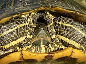 Slider Turtle (Trachemy scripta)
