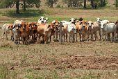 Brahman Kuh Herde auf Ranch mit Vordergrund Exemplar