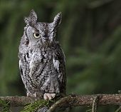 Focused Eastern Screech Owl