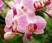 Pink And Purple Butterfly Orchids