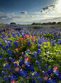 foto of bluebonnets  - Bluebonnets and Indian paintbrushes in a rural Texas neighborhood - JPG