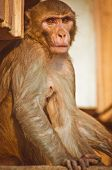 a Monkey on a building (rhesus macaque)