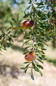 Fresh argan fruits