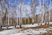 pic of birchwood  - Birchwood and thawed snow in the spring - JPG