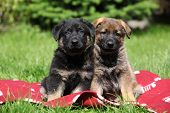Two German Shepherd Puppies Sitting Side By Side