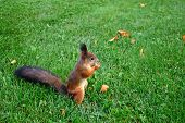 Park squirrel gnaws something on the lawn