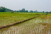 Very Green Rice Field With The Fence And Levee In Countryside Of Thailand