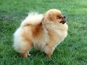 stock photo of pomeranian  - The lovely Pomeranian dog on the green grass - JPG