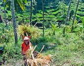 BALI - MARCH 19. Farmer with the baskets filled with a rice on March 19,2 013 in Bali, Indonesia. Fa