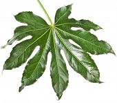 One Leaf Fatsia japonica isolated on a white background