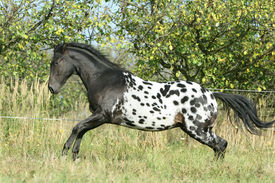 image of appaloosa  - Beautiful appaloosa stallion running on pasturage in autumn - JPG