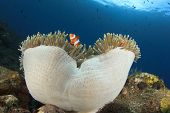 Clown Anemonefish on underwater anemone in coral reef