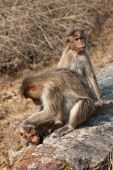 Bonnet Macaque Family Grooming