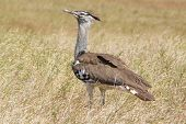African Bird, Kori Bustard, In The Bush