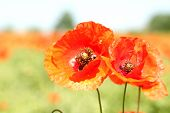 Two red wild poppies.