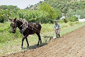 ALJEZUR, PORTUGAL 4 APRIL 2011: Farmer is ploughing the land in an old fashioned way in Aljezur Port
