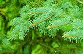 fir tree background
