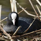 An adult Coot (Fulica atra) brooding on it's nest.