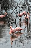 Flamingos Have Arrived To The Island Of Isabella, Galapagos Archipelago, Ecuador