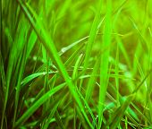 fresh green grass. may used as background.