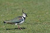 An Adult male Lapwing (Vanellus vanellus).