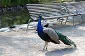Peafowl is walking in the city park
