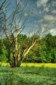 Bog And Dry Tree