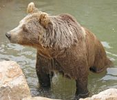 Animal Park - Brown Bear In Water