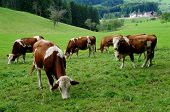 foto of pasture  - A herd of brown and white cows on a pasture in the Black Forest - JPG