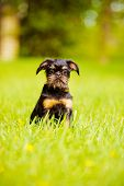 griffon puppy outdoors