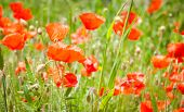 Red Poppy On Green Grass And Red Poppies