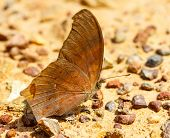 The Great Assyrian Butterfly On Ground