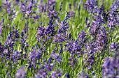 Field of Great Camas Flowers