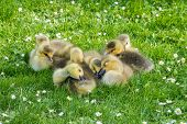 Clutch Of Goslings Falling Asleep
