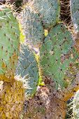 stock photo of prickly-pear  - detail shot of a prickly pear cactus paddle - JPG