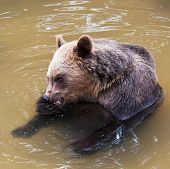 Young Bear (ursus Arctos)