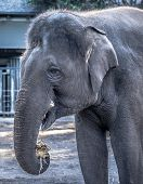 Female Elephant Eating Sugarcane