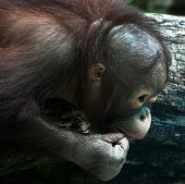 Detail Of Young Orangutan (pongo Pygmaeus)