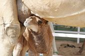 Closeup of a beautiful baby camel