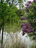 picture of boise  - Blooming lilacs add color and fragrance to a spring day in a Boise city park - JPG