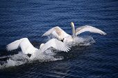 White swans on the river