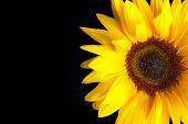 Sunflower Isolated On Black Background