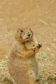 indigenous north American Black-tailed prairie dog (cynomys ludovicianus)