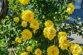 stock photo of creeping  - A creeping bush with bright yellow roses - JPG
