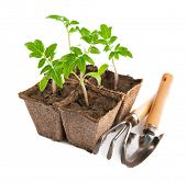 Seedlings tomato with garden tools. Isolated on white background